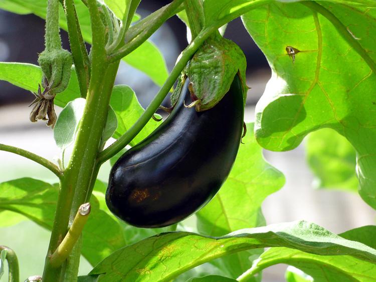Aubergine Black Beauty, stor svart frukt och grön stjälk och blad.
