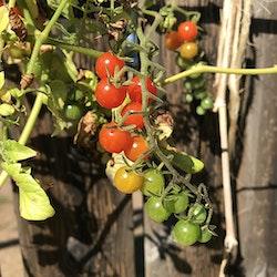 Vinbärstomat Fröpåse