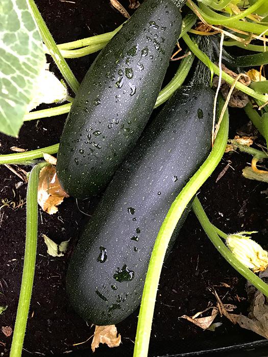 Squash Black Beauty Fröpåse
