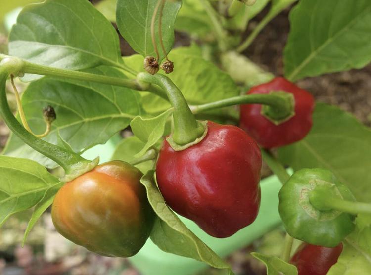Chili Habanero Maya Red Fröpåse