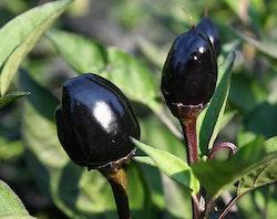 Chili Black Olive Fröpåse