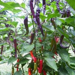 Chili Purple Cayenne Fröpåse