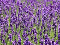 Lavendel Fröpåse