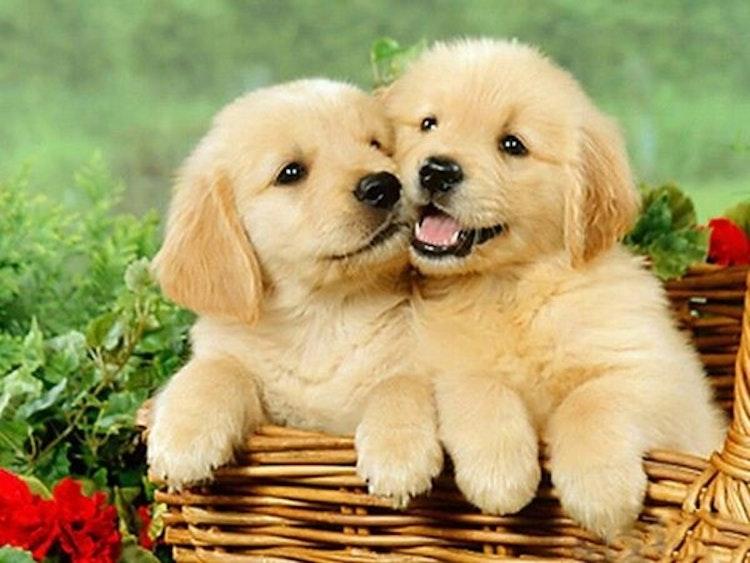 2 Glada Hundvalpar