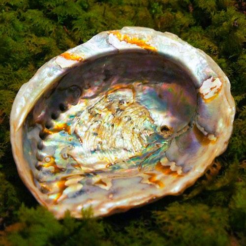 Abalone skal XL