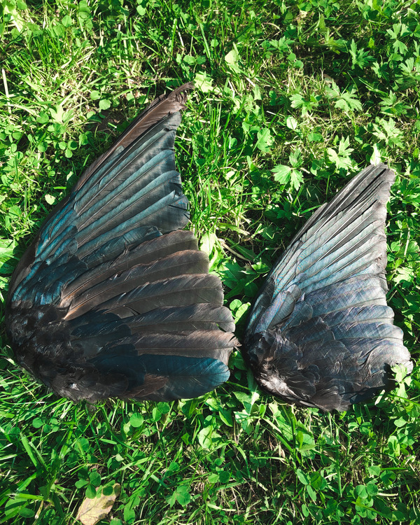 Korp vinge