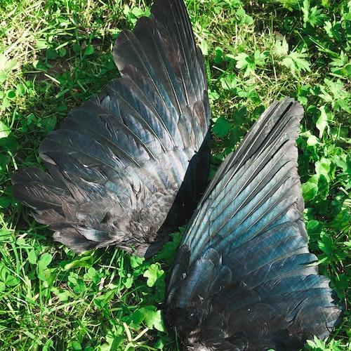 Kråka vinge