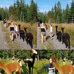 Lång alpackapromenad (7-8 km)