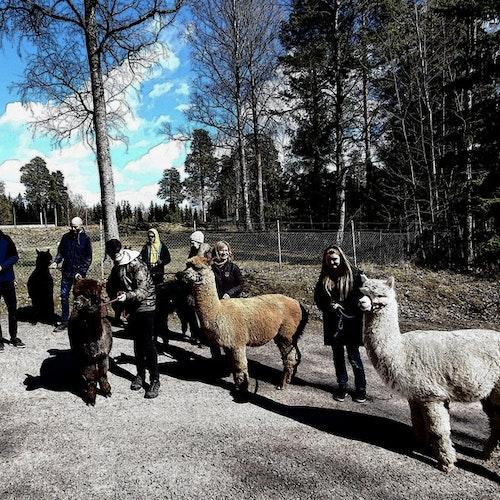 Familjepromenad med 6 alpackor