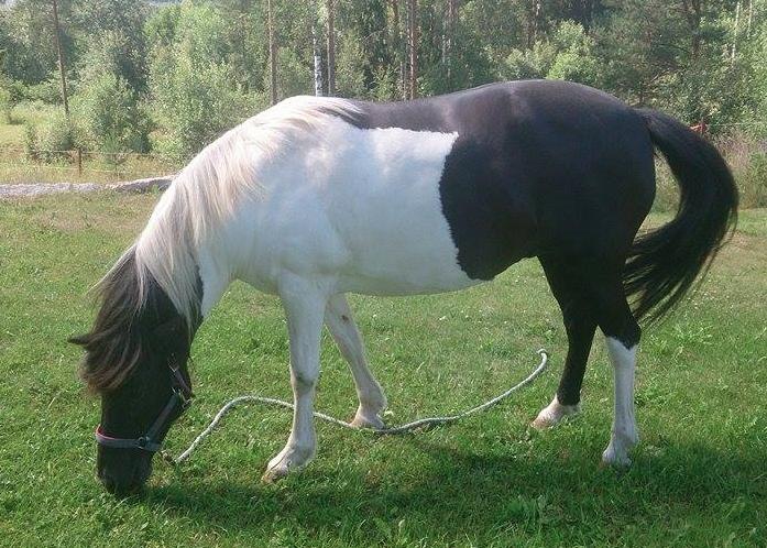 Nu kan min allergiska häst äta gräs igen