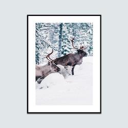 Renar i snön