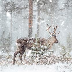 Ren i snön 1