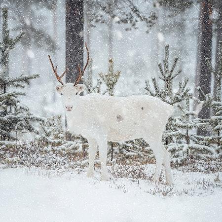 Ren i snön 2