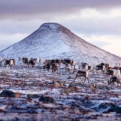 Canvas Flock med renar