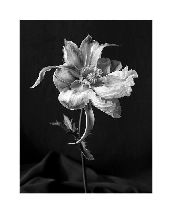 Tulipaver Arcus