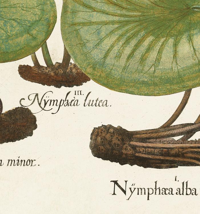 Basil Besler – Nymphæa alba maior