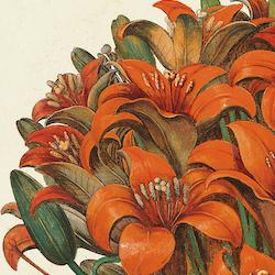 Basil Besler – Lilius cruentum