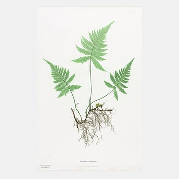 Henry Bradbury – Ormbunke – Polypodium Phegopteris
