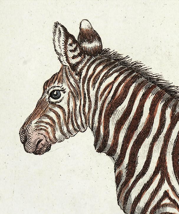 Zebra – 1780