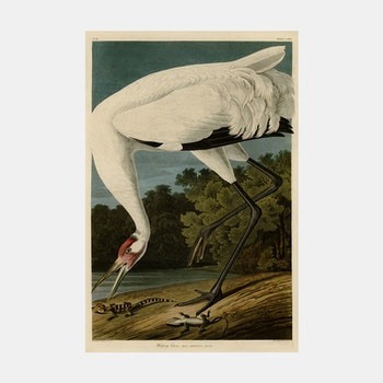 Bildkonst – Tranan & alligatorer – 1821
