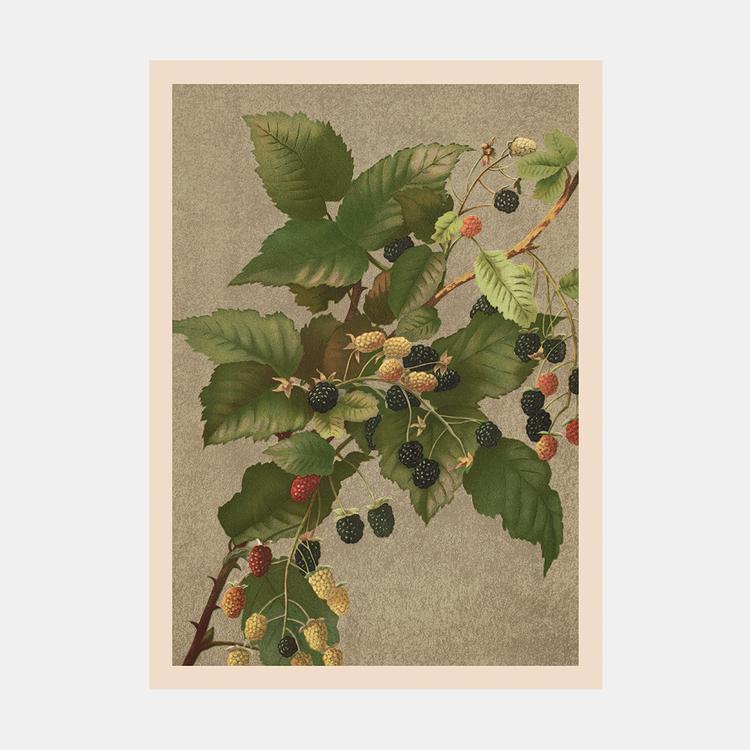 Bild – Björnbär – 1885