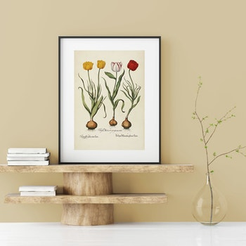 """Basil Besler – """"Tulipa"""""""