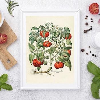 """Basil Besler – """"Tomater"""""""