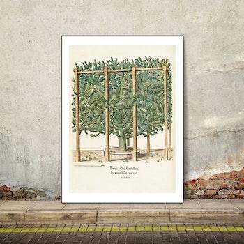 Basil Besler – Ficus Indica Eystetten