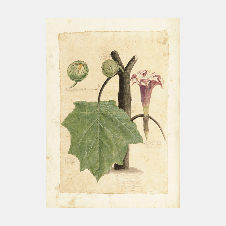 Passionsfrukt – 1600-tal