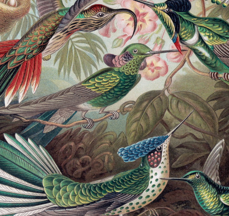 Poster – Fåglar, kolibri – 1900
