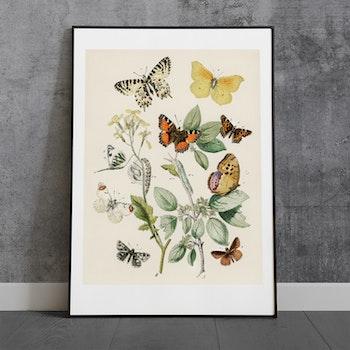 Poster – Fjärilar & larver – 1882
