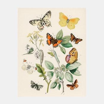 Poster – Fjärilar & larver