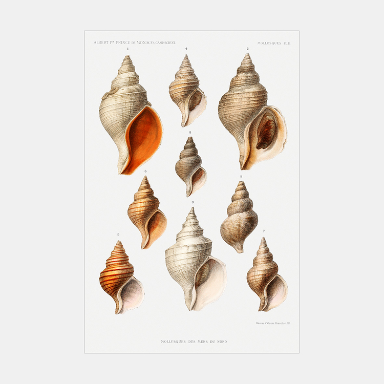Poster – Havets snäckor – 1912