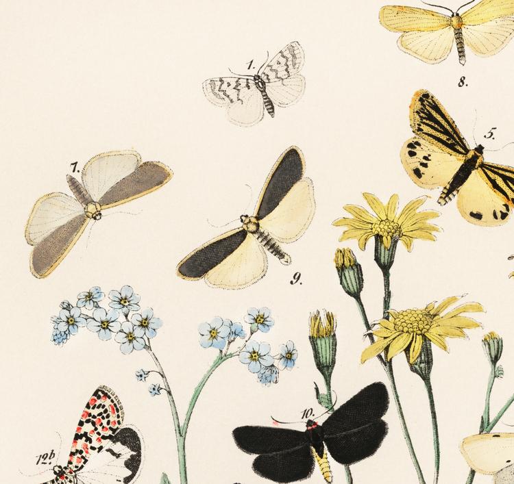 Poster – Fjärilar & larver III – 1882