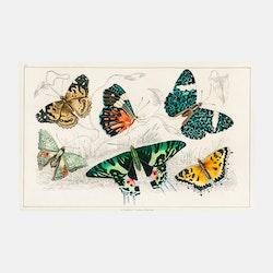 Poster – Fjärilar – 1820