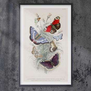 Poster – Fjärilar – 1700-tal
