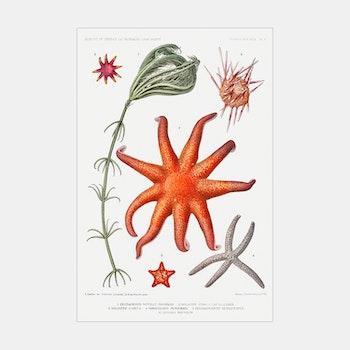 Poster – Sjöstjärnor – 1912