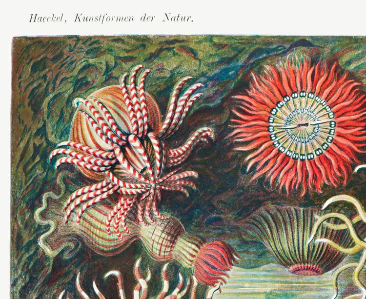 Poster – Havsanemoner – 1904
