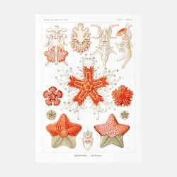 Poster – Sjöstjärnor – 1904