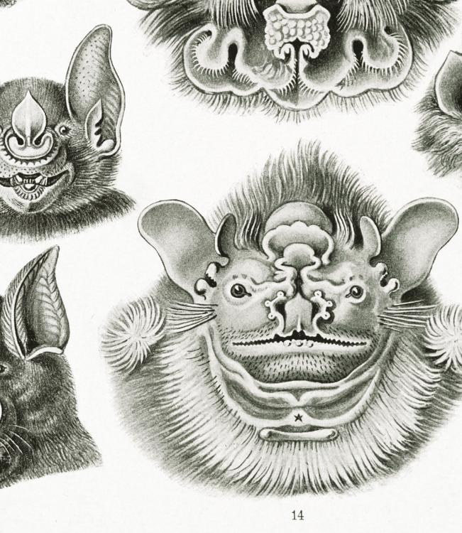 Poster – Fladdermus – 1904