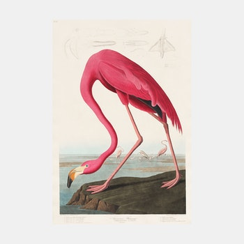 Poster – Rosa Flamingo – 1827