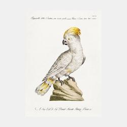 Poster– Kakadua – 1700-tal