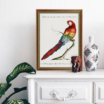 Poster– Papegoja – 1700-tal