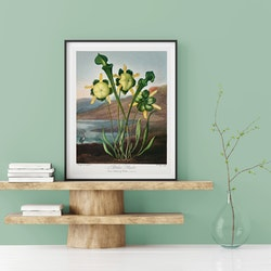 Poster – Pitcher Plant – 1803