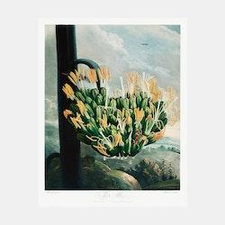 Poster – Aloe – 1803