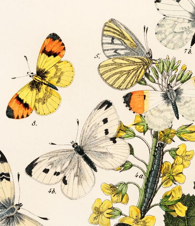 Poster – Gula fjärilar – 1882