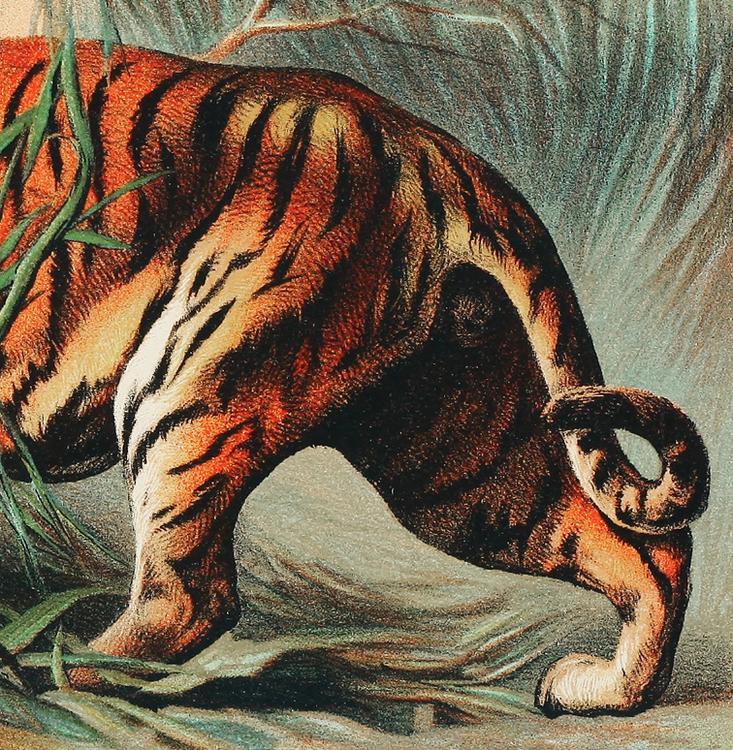 Poster– Royal Bengal Tiger – 1880