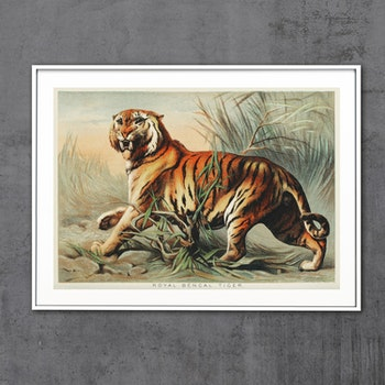 Poster– Royal Bengal Tiger – 1880
