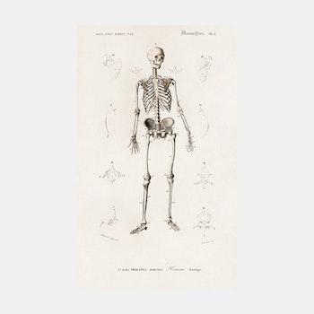 Skelett – 1800-tal