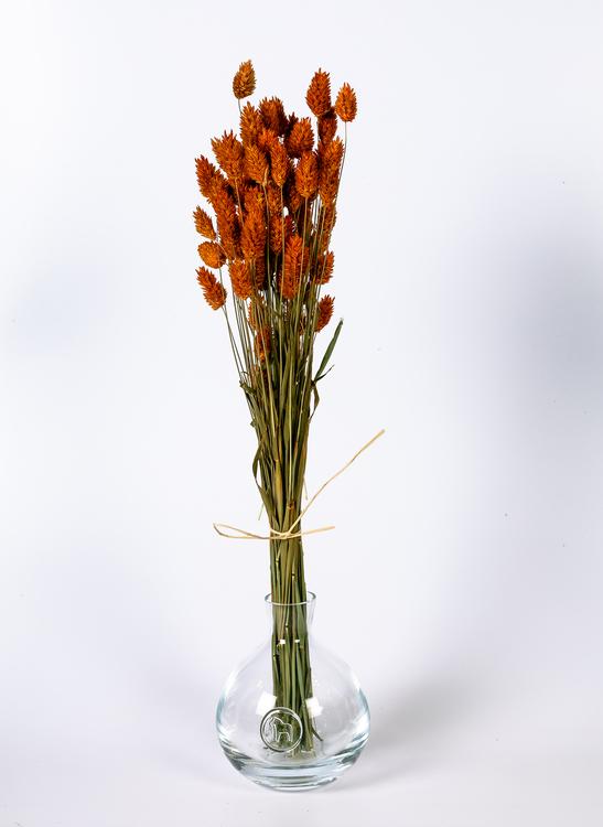 Phalaris 100 gr - Orange
